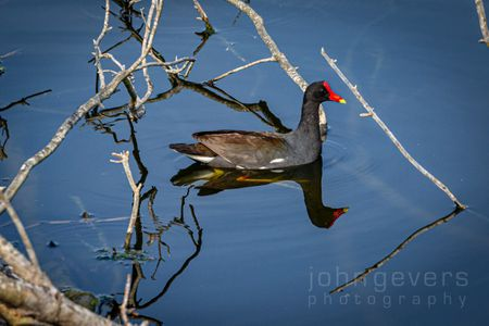 Common Moorhen • Pinckney Nature Refuge 374 • South Carolina