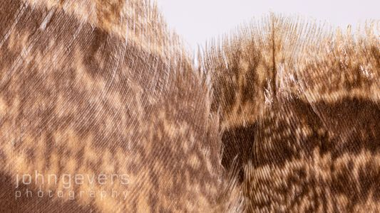 Great Horned Owl tail 2