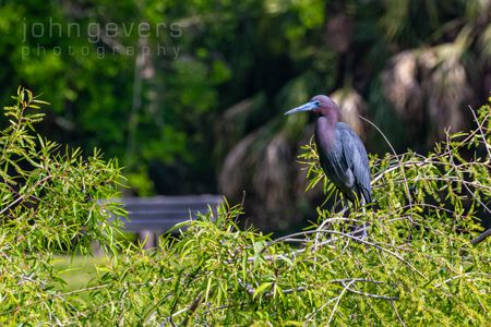 Little Blue Heron • Pinckney Island 261 • South Carolina