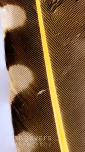 Northern Flicker Feather 2