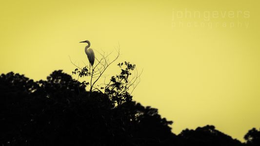 Great Egret • Pinckney Island 22 • South Carolina