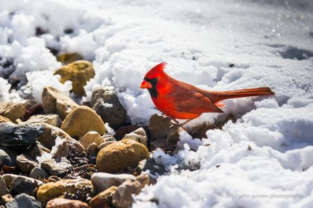 Cardinal on Ground • Fort Wayne, Indiana