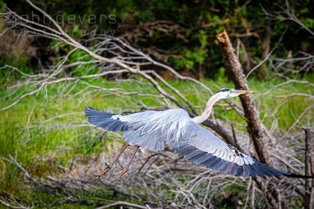 Great Blue Heron • Pinckney Nature Refuge 310 • South Carolina