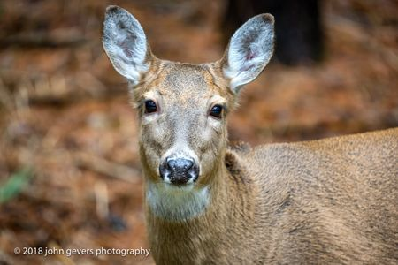 White-tail deer 2 • Steuben County, Indiana