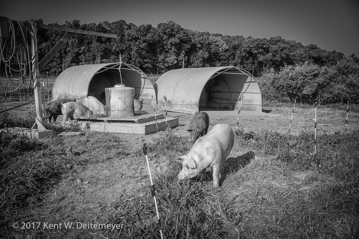 Smith_Meadows_Pigs_July_2017-1.jpg