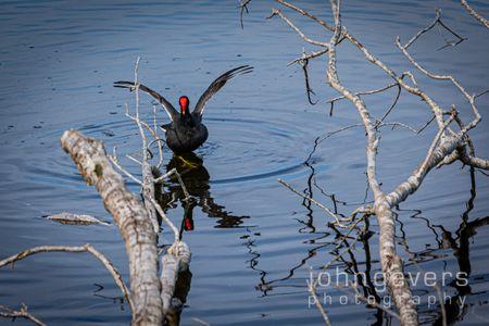 Common Moorhen • Pinckney Nature Refuge 358 • South Carolina