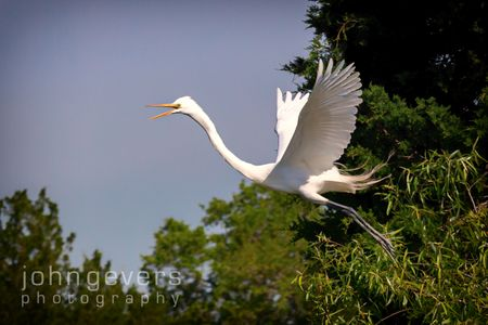 Great Egret • Pinckney Island 461 • South Carolina