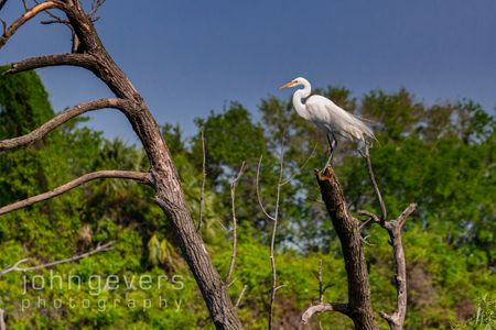 Great Egret • Pinckney Island 468 • South Carolina