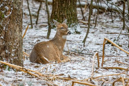 White-tail deer 5 • Steuben County, Indiana