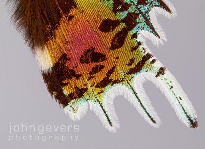 Sunset Moth 2-1 • Madagascar