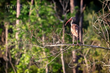 White Ibis, juvenile • Pinckney Island 38 • South Carolina