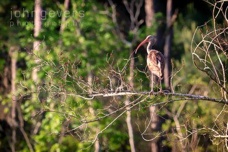 White Ibis, juvenile • Pinckney Island 38 • South Carolina
