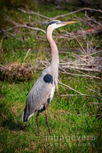 Great Blue Heron • Pinckney Nature Refuge 307 • South Carolina