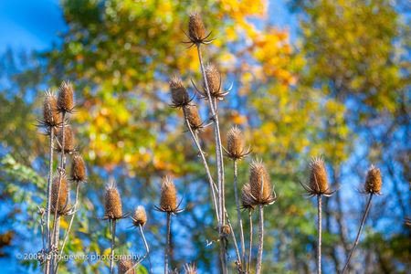 Thistles 1 • Vandolah Acres Preserve • Fort Wayne, Indiana