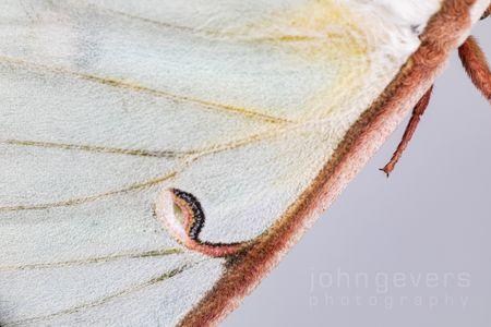 Luna Moth 2-1