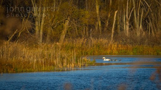 Swan & Ducks • Eagle Marsh • Fort Wayne, Indiana