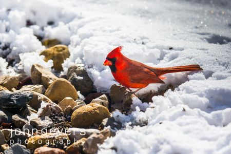 Cardinal in Snow • Fort Wayne, Indiana