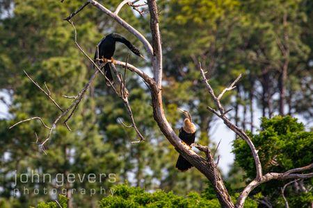 Anhinga • Pinckney Nature Refuge 388 • South Carolina