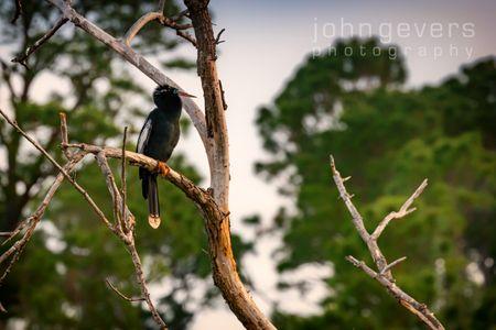 Anhinga • Pinckney Island 9 • South Carolina