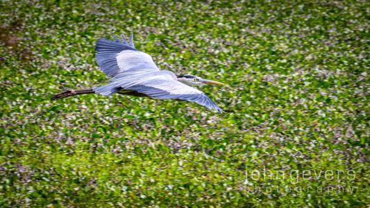 Great Blue Heron • Pinckney Nature Refuge 314 • South Carolina