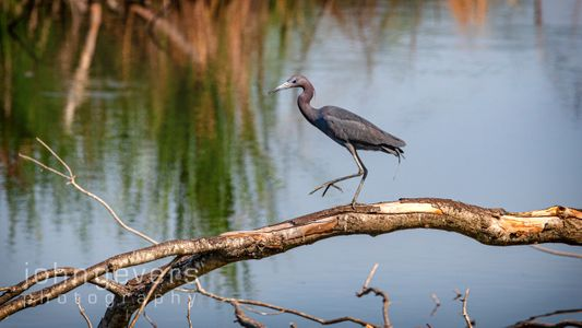 Little Blue Heron • Pinckney Island 495 • South Carolina