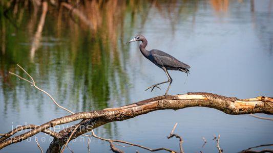 Little Blue Heron • Pinckney Island 495 • South Carolina