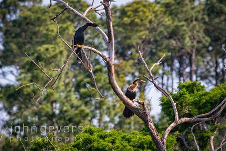 Anhinga • Pinckney Nature Refuge 387 • South Carolina