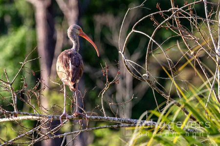 White Ibis, juvenile • Pinckney Island 48 • South Carolina