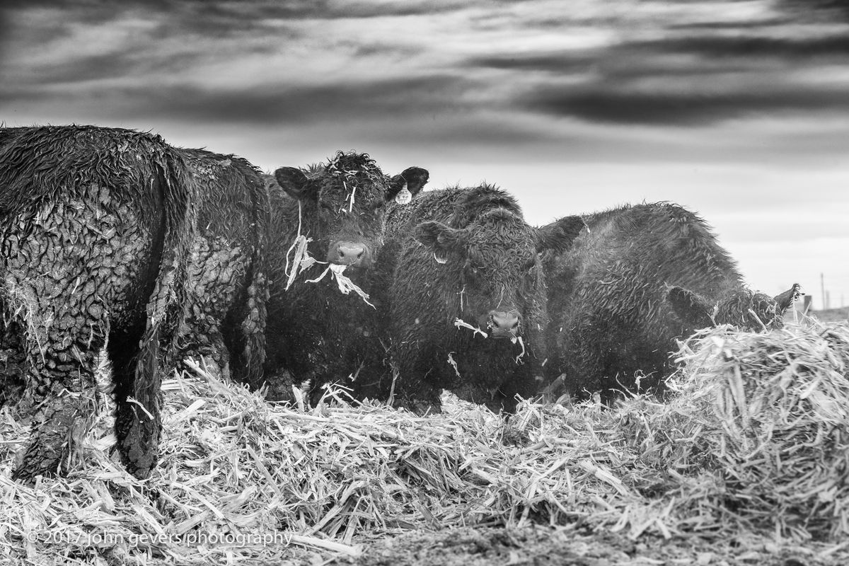 The Angus cattle settle into their fresh corn stalk bedding.