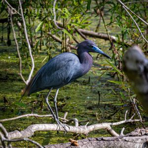 Little Blue Heron • Pinckney Island 272 • South Carolina
