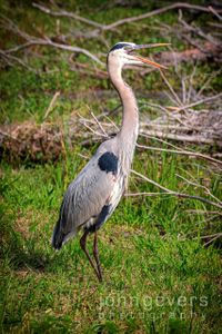 Great Blue Heron • Pinckney Nature Refuge 306 • South Carolina