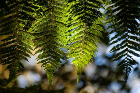Fern tree • Franz Josef, New Zealand