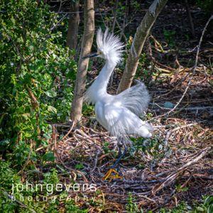 Snowy Egret • Pinckney Island 442 • South Carolina