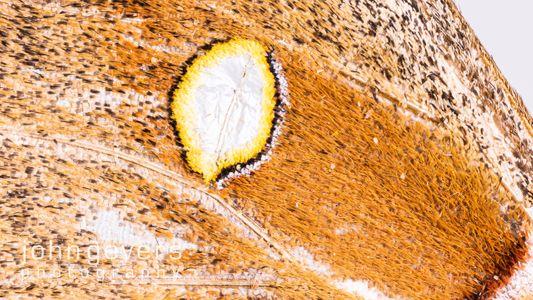 Polyphemus Moth 2