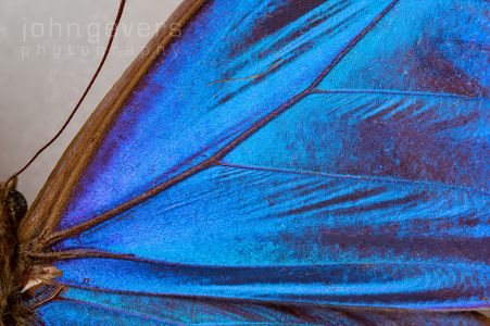 Blue Morpho Butterfly 2-1 • South America
