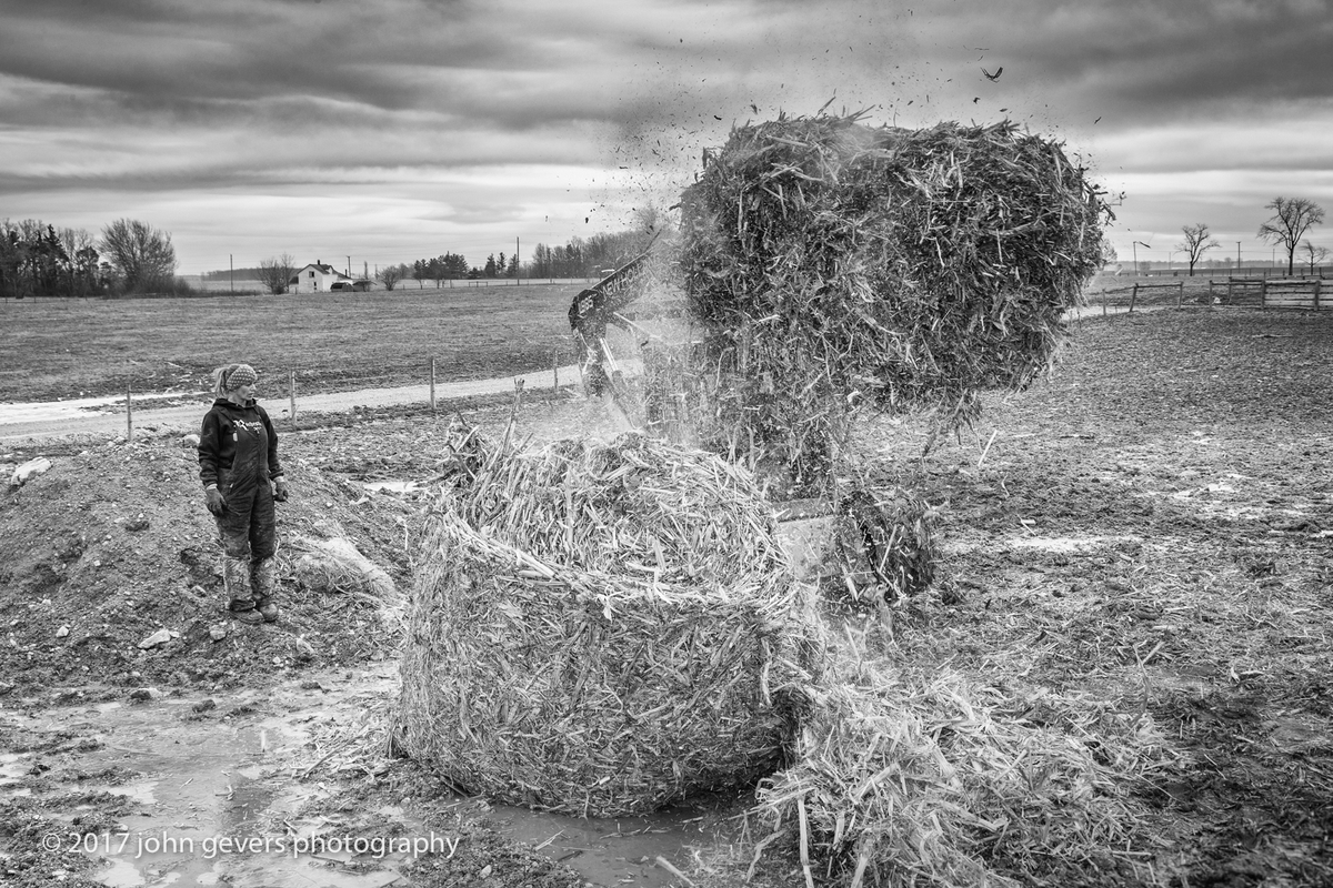 Cathy watches as Dom breaks up a corn stalk bale for the cattle to use as bedding.