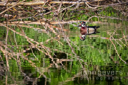 Wood Duck • Pinckney Island 98 • South Carolina