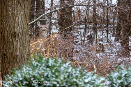 White-tail deer 6 • Steuben County, Indiana