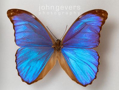 Blue Morpho Butterfly 1 • South America