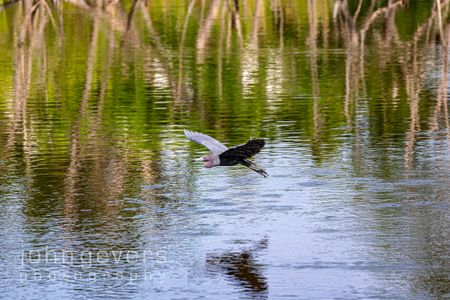 Little Blue Heron • Pinckney Island 470 • South Carolina