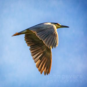 Black-Crowned Night Heron • Pinckney Island 129 • South Carolina