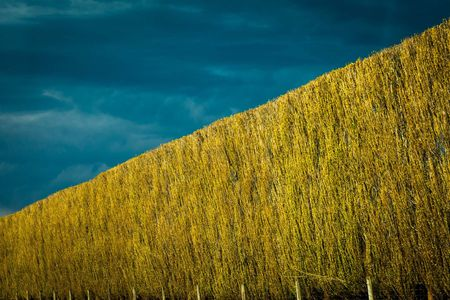 Poplars • Canterbury,  New Zealand