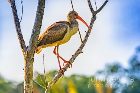 White Ibis, juvenile • Pinckney Island 52 • South Carolina