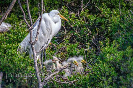 Great Egret • Pinckney Island 415 • South Carolina