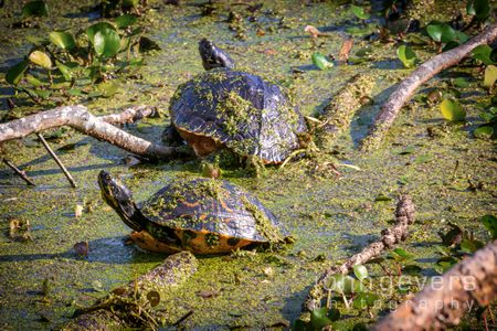 Turtles • Pinckney Island 252 • South Carolina