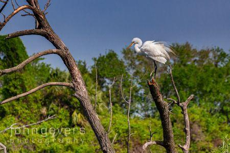 Great Egret • Pinckney Island 467 • South Carolina