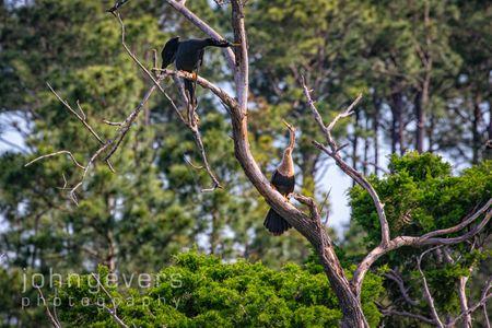 Anhinga • Pinckney Nature Refuge 385 • South Carolina