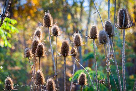 Thistles 2 • Vandolah Acres Preserve • Fort Wayne, Indiana