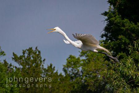 Great Egret • Pinckney Island 462 • South Carolina