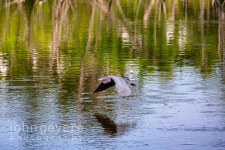 Little Blue Heron • Pinckney Island 471 • South Carolina
